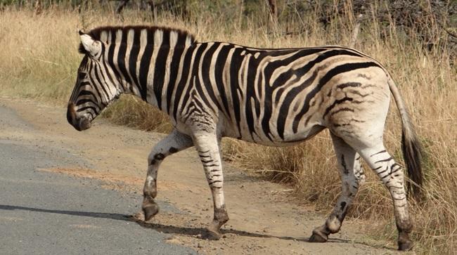 Hluhluwe Big 5 Safari; Zebra
