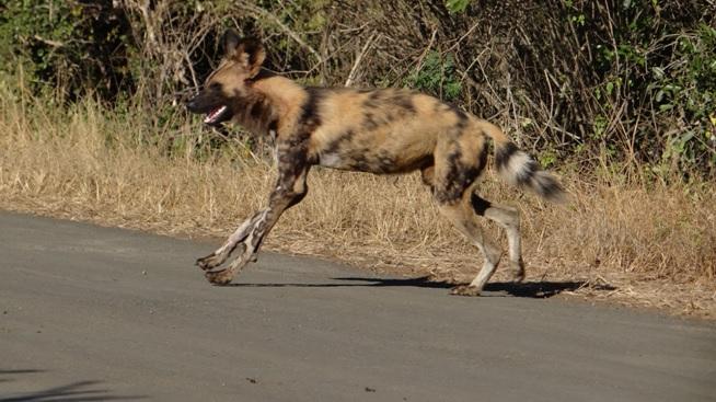 Hluhluwe Big 5 safari from Durban, African Wild Dog crosses road