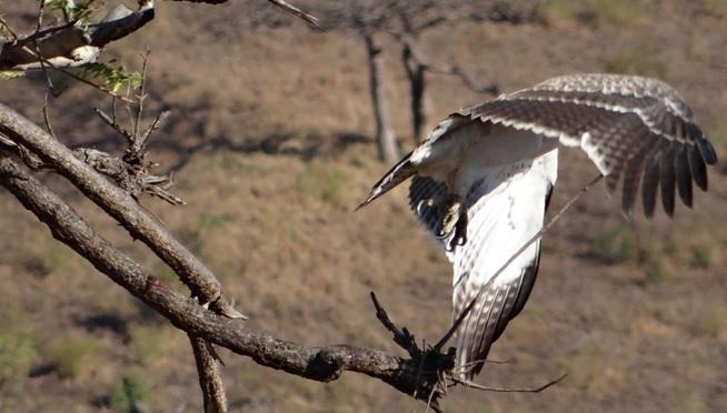 Hluhluwe Big 5 safari from Durban, Juv Martial eagle takes off