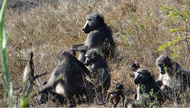 Hluhluwe overnight safari; Baboons
