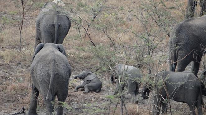 Hluhluwe overnight safari; Baby Elephant lays down