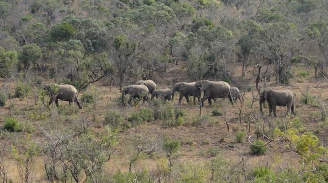 Hluhluwe overnight safari; Elephant herd