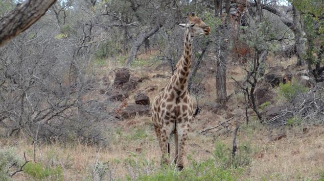 Hluhluwe overnight safari; Giraffe chewing a bone