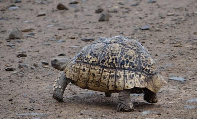 Hluhluwe overnight safari; Leopard tortoise