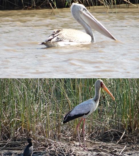 Hluhluwe overnight safari; Yellow billed stork and Pelican
