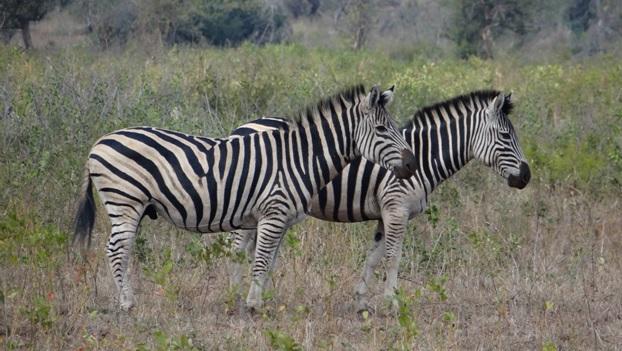 Hluhluwe overnight safari; Zebra