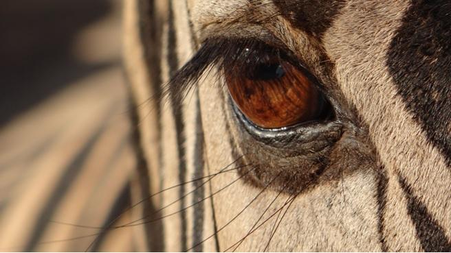 Hluhluwe overnight safari; the eye of a Zebra
