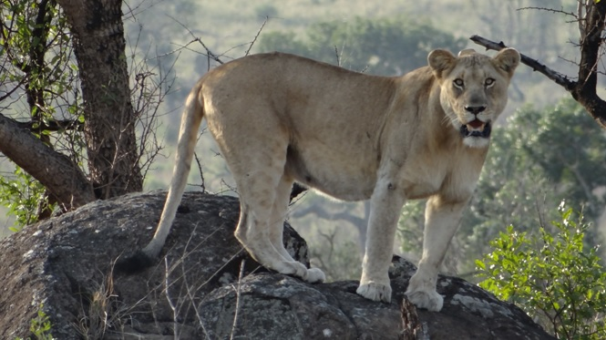 Safari near Durban; Lioness on rock