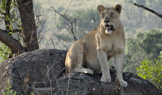 Safari near Durban; Lioness sits on rock
