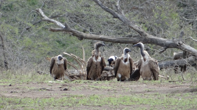 Safari near Durban; White Backed Vultures on old Buffalo carcass