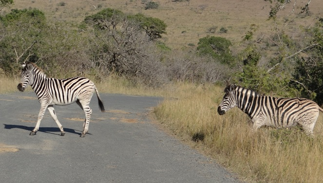 Safari near Durban; Zebra crossing