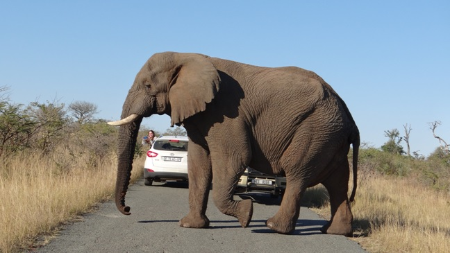 South African safari; Elephant crosses road