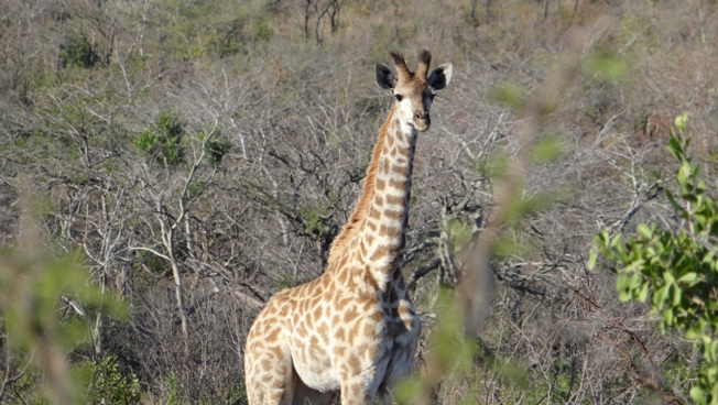 South African safari; Giraffe