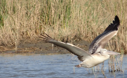 South African safari; Pink backed Pelican in flight