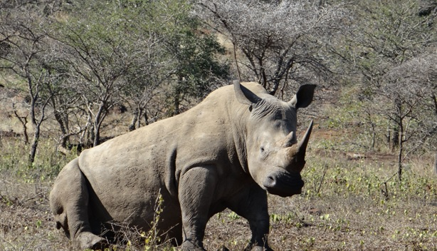 South African safari; Rhino 2