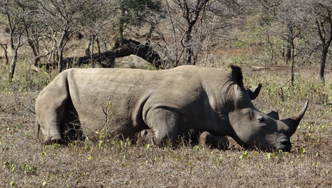 South African safari; Rhino 3