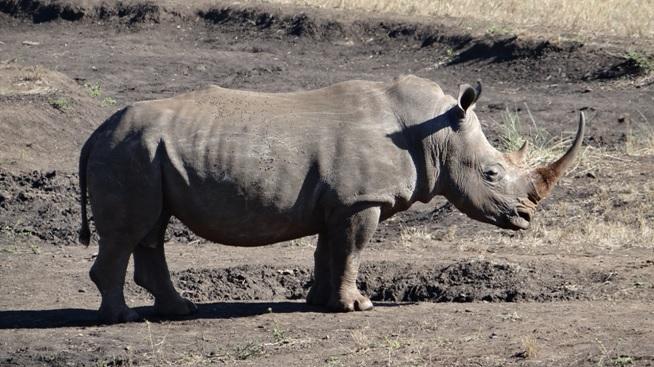 South African safari; Rhino standing