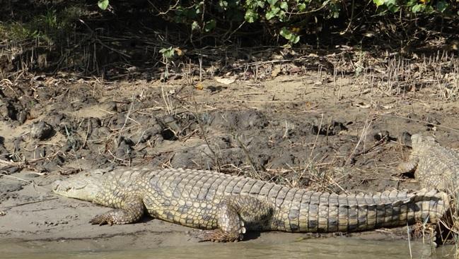 St Lucia wetlands safari from Durban, Crocodiles at St Lucia estuary