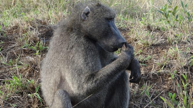 Big 5 safari Durban; Baboon