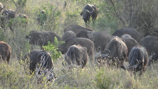 Big 5 safari Durban; Buffalo