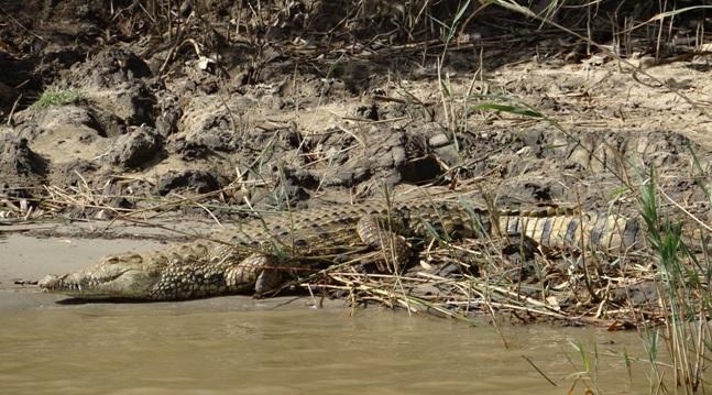 Big 5 safari Durban; Crocodile