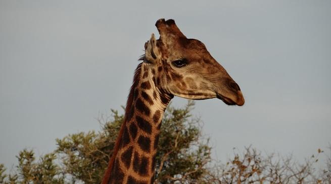 Big 5 safari Durban; Giraffe