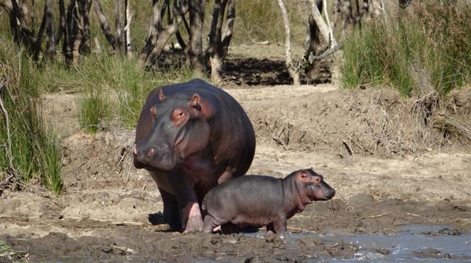 Big 5 safari Durban; Hippo mom and baby
