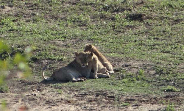 Big 5 safari Durban; Lion mom and cubs