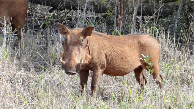 Big 5 safari Durban; Warthog