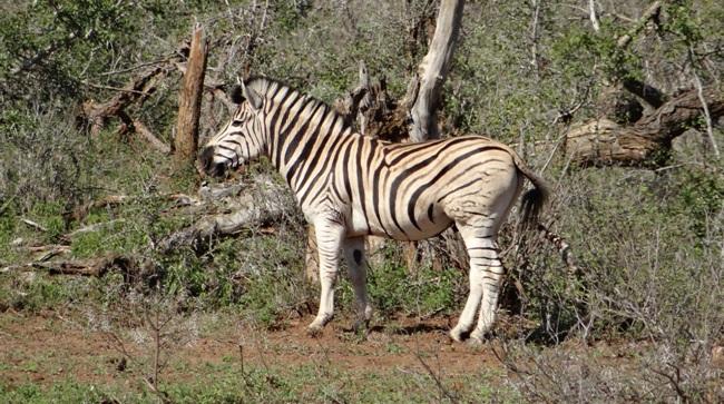 Big 5 safari Durban; Zebra