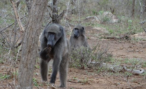 Durban day safari; Baboon