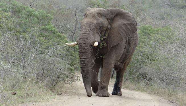 Durban day safari; Elephant bull