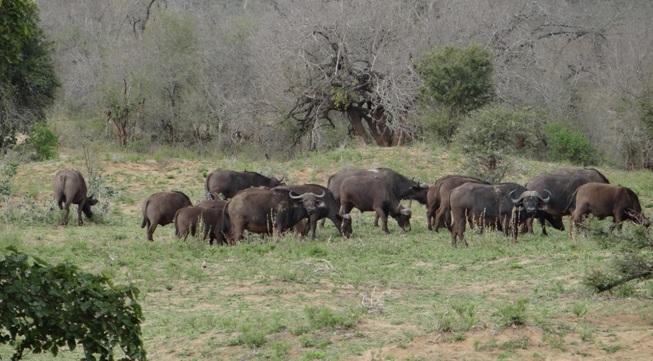 Durban day safari; Herd of Buffalo
