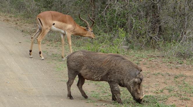 Durban day safari; Impala and Warthog