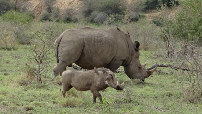 Durban day safari; Rhino and Warthog