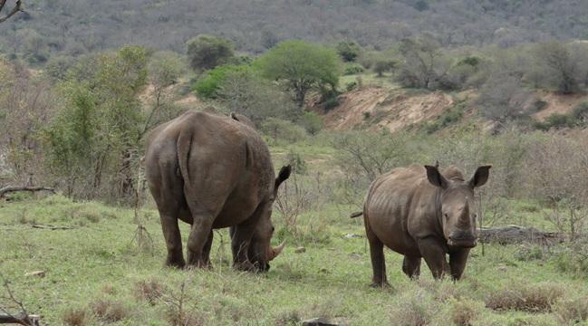 Durban day safari; Rhino mother and calf