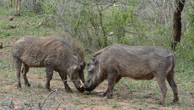 Durban day safari; Warthog wars