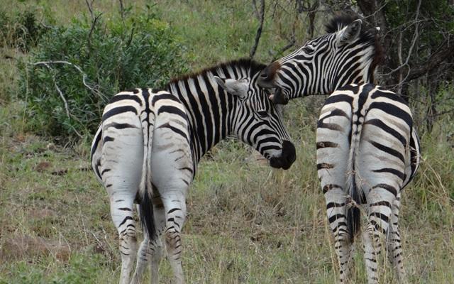 Durban day safari; Zebra love bite