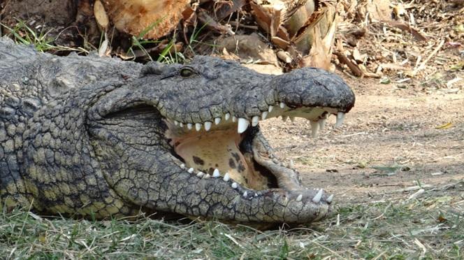 Durban day safari tour; Crocodile