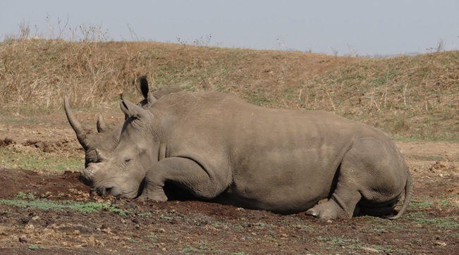 Durban day safari tour; Rhino, I have suffered at the hands of poachers but my friend with protect me