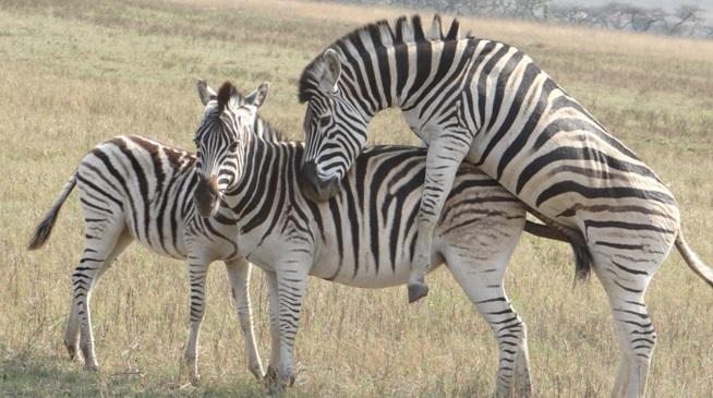 Durban day safari tour; Zebra mating