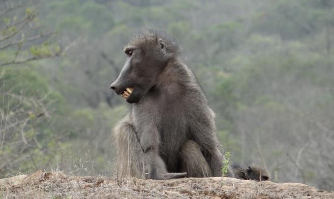 Durban day tour; Baboon