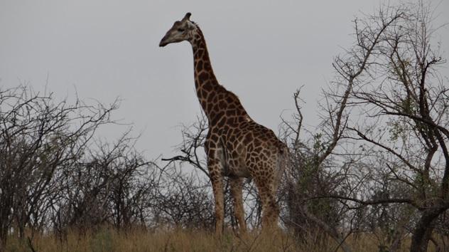 Durban day tour; Giraffe