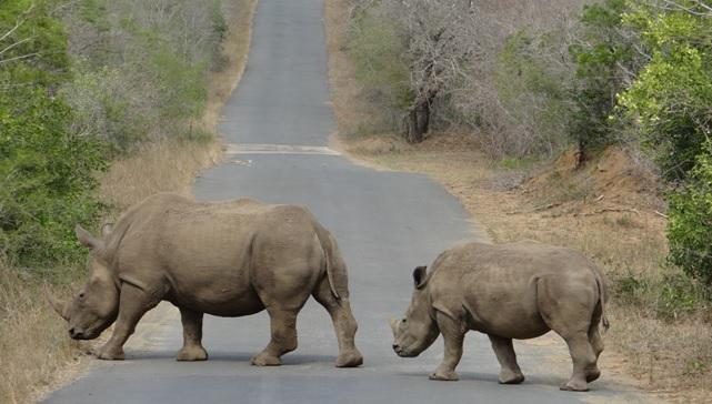 Durban day tour; Rhino crossing