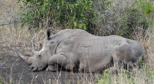 Durban day tour; Rhino resting