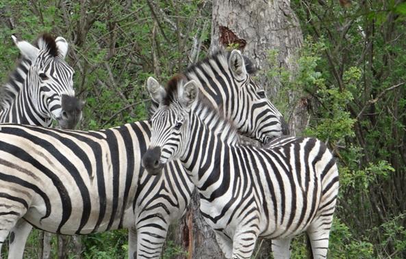 Durban day tour; Zebra