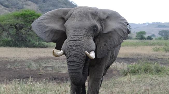 Durban overnight safari; Elephant