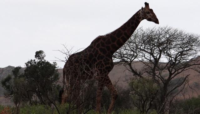 Durban overnight safari; Giraffe