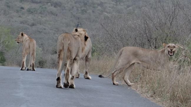 Durban overnight safari; Lioness does Flemen grimace