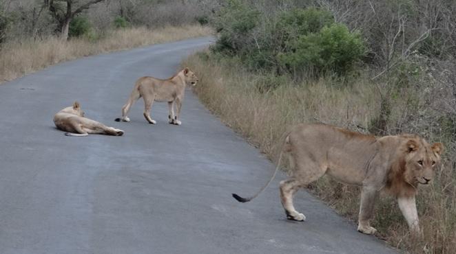 Durban overnight safari; Lions on road